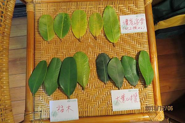 福木、瓊崖海棠、大葉山欖的葉子