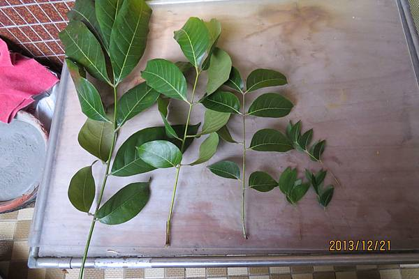 大葉與小葉的比較