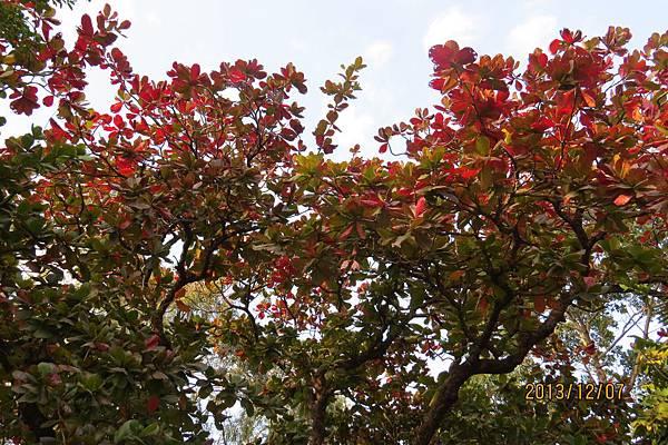 大葉欖仁樹