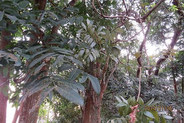 大葉與小葉桃花心木