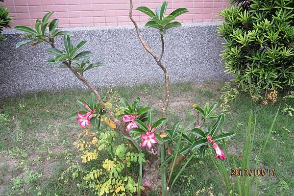 雞蛋花(緬梔)