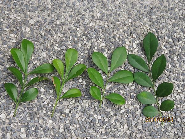 七里香  樹蘭