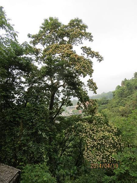 台灣梭羅樹