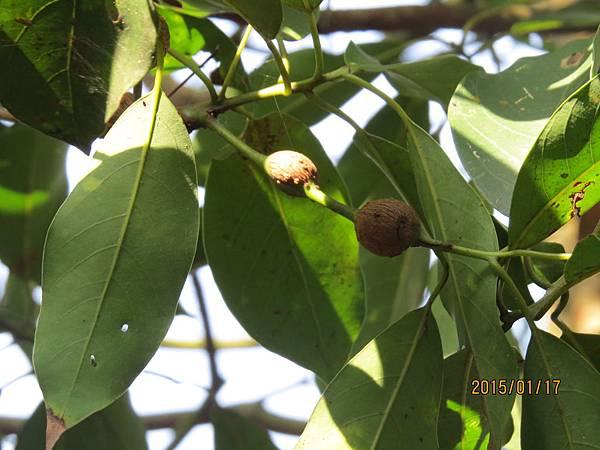 香楠  蟲癭