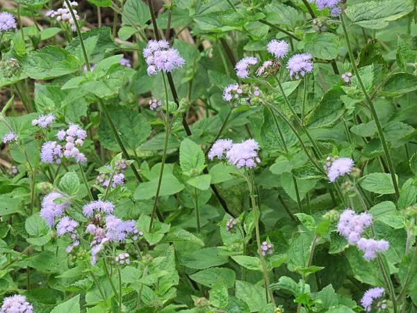 紫花藿香薊