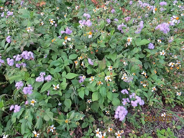 紫花藿香薊&大花咸豐草