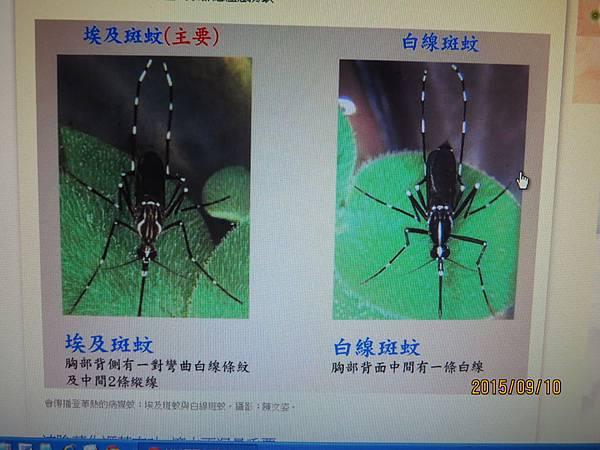 埃及斑蚊與白線斑蚊