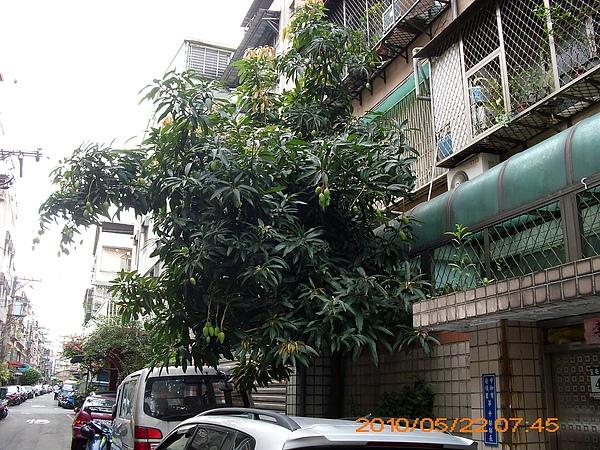 我家門口的芒果樹
