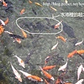 池裡的錦鯉魚