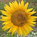 向日葵與蜜蜂特寫1.jpg