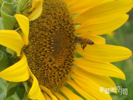 向日葵與蜜蜂特寫2.jpg
