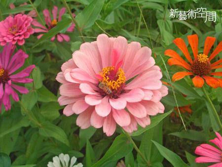粉紅色百日草與蜜蜂特寫.jpg