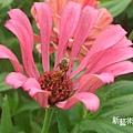 蜜蜂採花蜜特寫.jpg