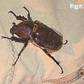 甲蟲2.jpg