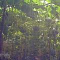 網室栽種2.jpg