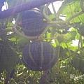 網室栽種小南瓜.jpg