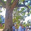 百年大樟樹.jpg
