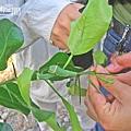 發現一隻玉帶鳳蝶幼蟲.jpg
