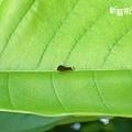 超小的一齡鳳蝶幼蟲.jpg