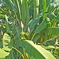 蓮花蕉2.jpg
