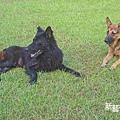 芳草古樹的兩隻狗.jpg