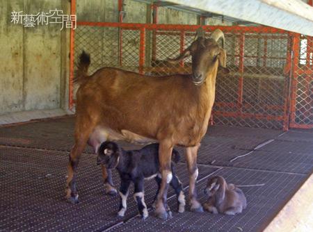 母羊與出生兩三天的小羊.jpg