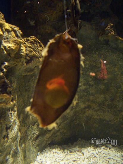 鯊魚蛋.jpg