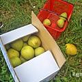 柚子裝滿箱.jpg