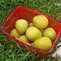 採滿籃的柚子.jpg