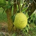 樹上的柚子.jpg