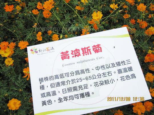 台中新社花海