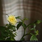 迷你黃玫瑰  特寫0613-2-BL.jpg