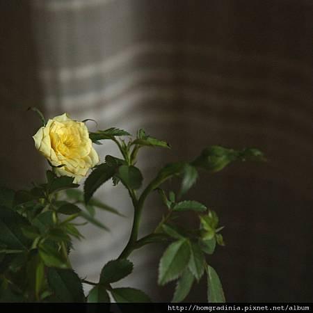 迷你黃玫瑰 特寫 0613-5-BL.jpg