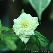 黃玫瑰盛開0614-4-BL.jpg