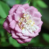 玫瑰盛開0614-1-BL.jpg