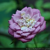 玫瑰盛開 0614-2-BL.jpg