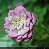 玫瑰盛開0614-3-BL.jpg