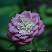 玫瑰盛開 0614-5-BL.jpg