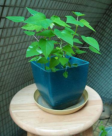 木瓜芽0718-1BL.jpg