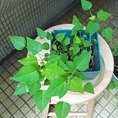 木瓜芽0718-2BL.jpg