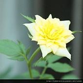 黃玫瑰0831-3BL.jpg