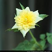 黃玫瑰0831-2BL.jpg