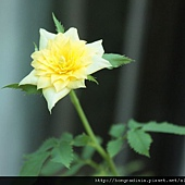 黃玫瑰0831-1BL.jpg