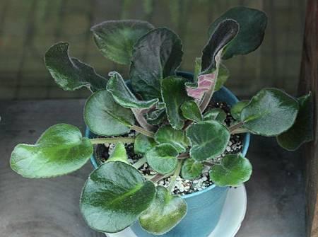 非洲菫葉插成珠20120213-2BL