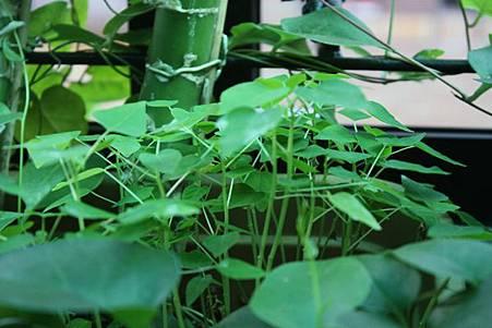長槽木瓜 (2)