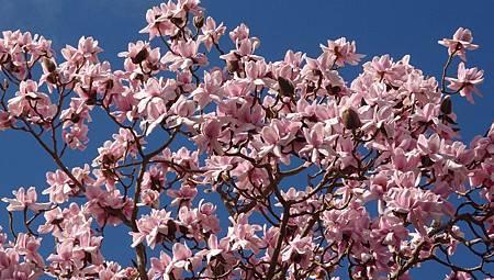 紐西蘭木蘭花-1 (2)