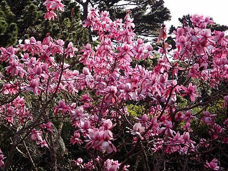 紐西蘭木蘭花-1 (8)
