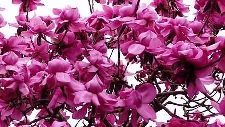 紐西蘭木蘭花-1 (11)