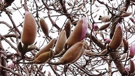 紐西蘭木蘭花-1 (12)