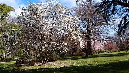 紐西蘭木蘭花,白